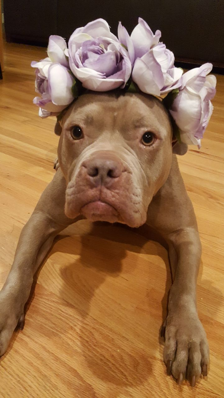 Cassidy, an adopted Pit Bull Terrier Mix in Madison, WI