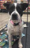 Border Terrier Dog: Clarabelle