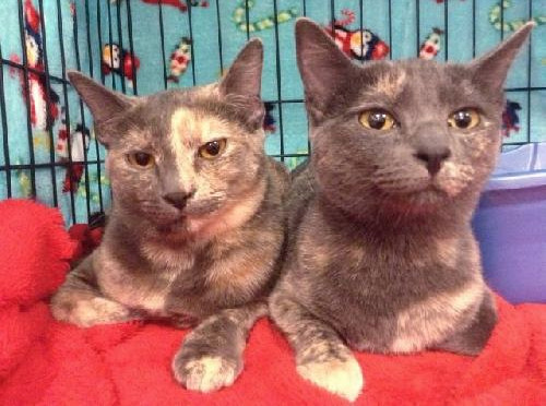 Halley, an adoptable Tortoiseshell in Buena Park, CA