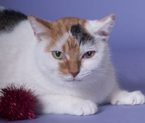 Precious is a 5 year old gentle shy and kind golden-eyed beautiful female calico cat looking for