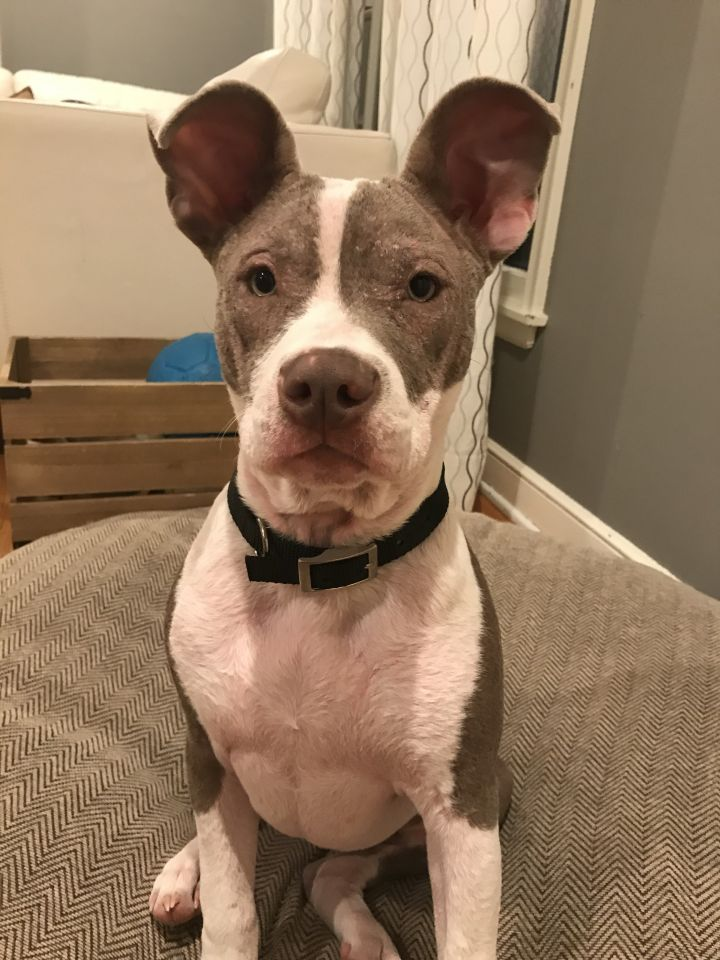 Jules, an adopted American Staffordshire Terrier & Pit Bull Terrier Mix in Saint Paul, MN