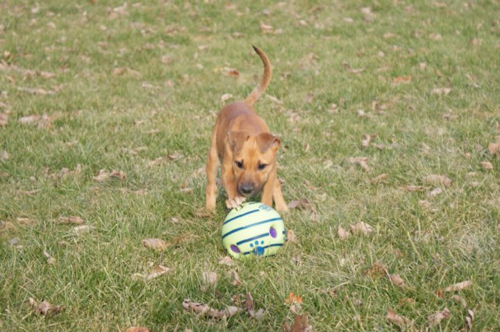 Jill, an adopted American Staffordshire Terrier & Pit Bull Terrier Mix in Saint Paul, MN