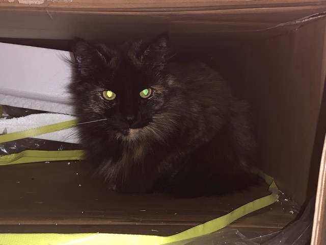 Autumn 2, an adopted Tortoiseshell in Rochester, NY