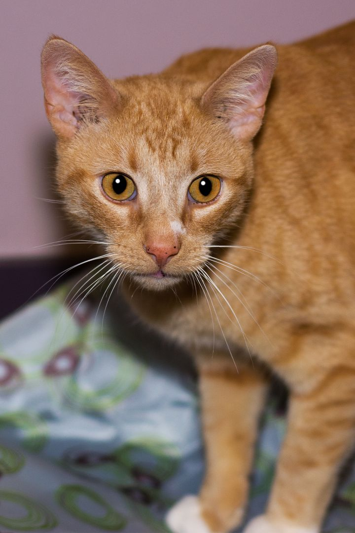 Grimsby, an adopted Domestic Short Hair in Harrisburg, PA