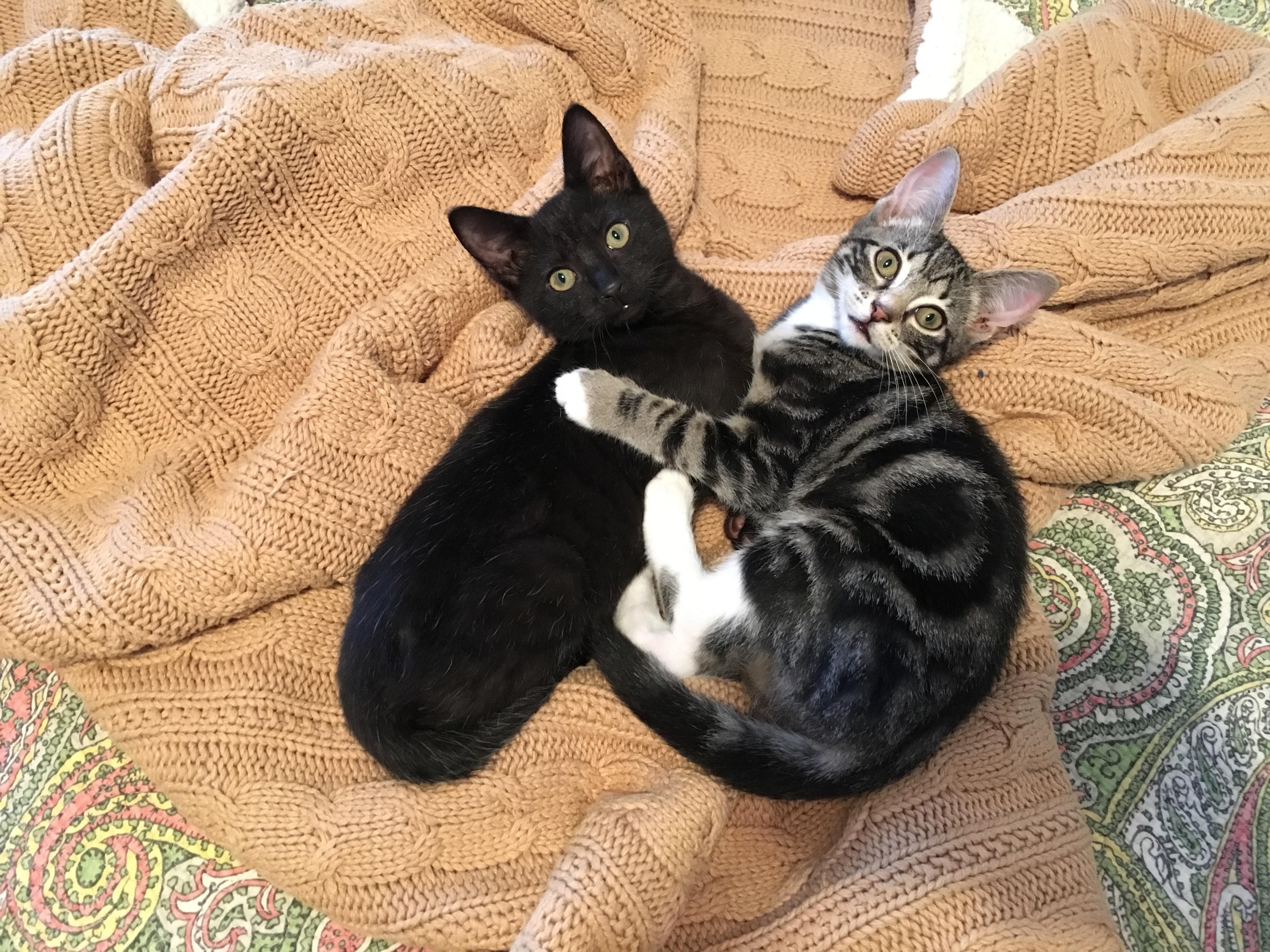 Cat for Adoption – Kit near Atlanta GA