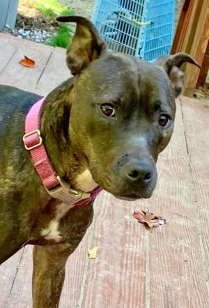You can fill out an adoption application online on our official websiteGracie a Plott Hound and h