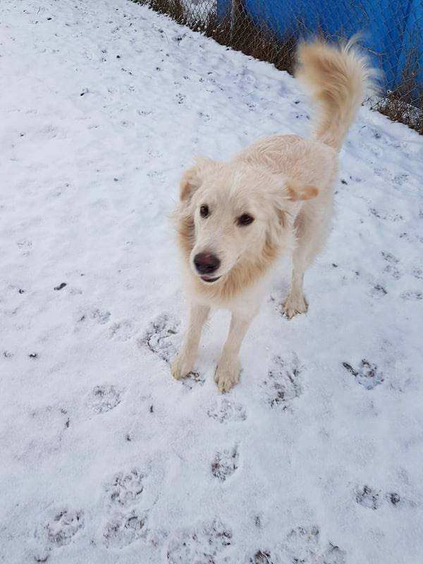 Beau, an adoptable Labrador Retriever in Laval, QC