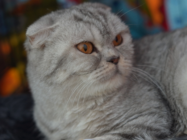 Supernova, an adopted Scottish Fold Mix in Brooklyn, NY
