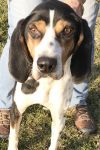 Foxhound Dog: Billy Joe