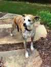 Whippet Dog: AbbyLeigh