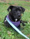 Chesapeake Bay Retriever Dog: Hansen