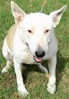 Bull Terrier Dog: AA-Asia