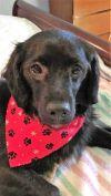 Cavalier King Charles Spaniel Dog: Buddy