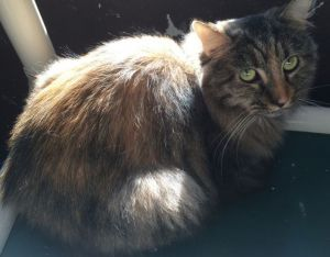 Sia Domestic Long Hair Cat