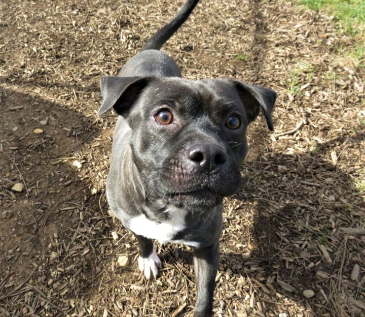 Krueger, an adopted Pug & Terrier Mix in Harrisburg, PA