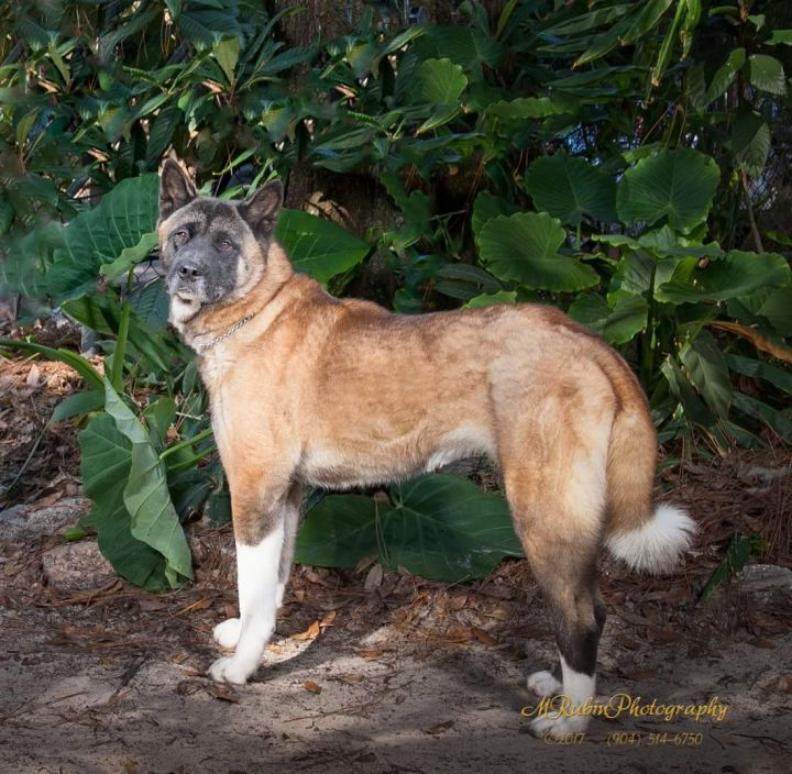 Frieda, an adoptable Akita in Jacksonville, FL