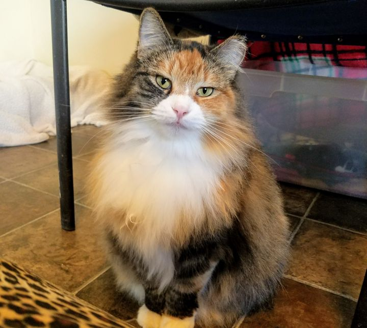 Tilly, an adoptable Domestic Long Hair in Ridgway, CO