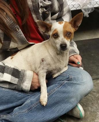 Rainy, an adopted Chihuahua in Paducah, KY