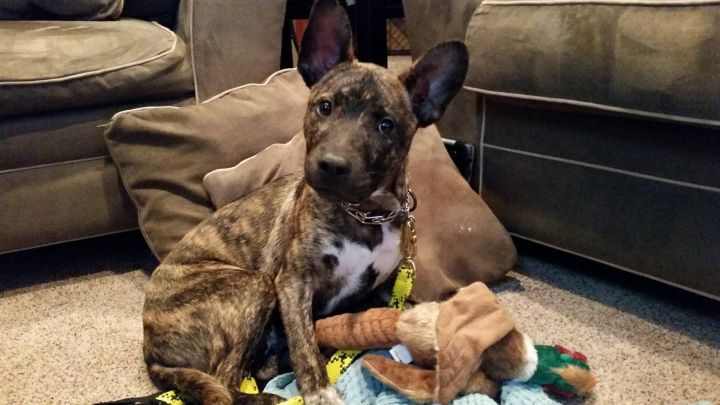 Bane *Dog of the Month, an adopted American Staffordshire Terrier & Pit Bull Terrier Mix in Saint Paul, MN