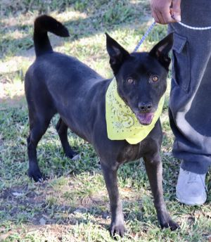Jeremy is a 3-4 year old chowlab mix he is sweet and gentle and does well with most dogs Jeremy