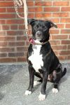 Labrador Retriever Dog: Molly