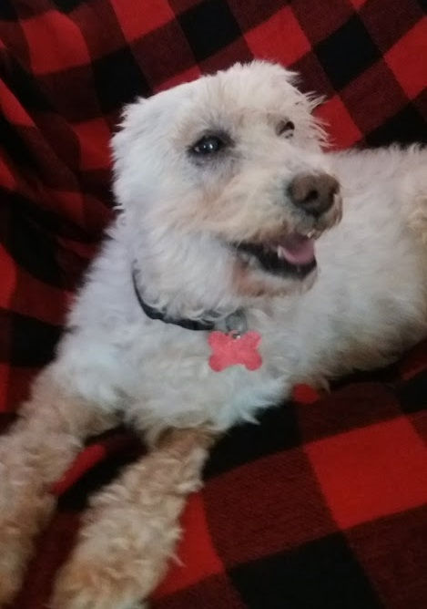 Mambo, an adoptable Poodle & Bichon Frise Mix in Clearwater, FL
