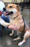 Rottweiler Dog: Chestnut