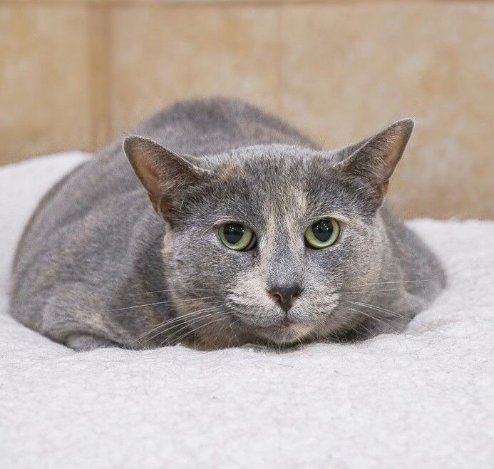 Widget, an adoptable Domestic Short Hair in Rochester, NY