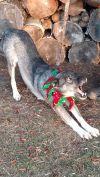 Siberian Husky Dog: Peaches
