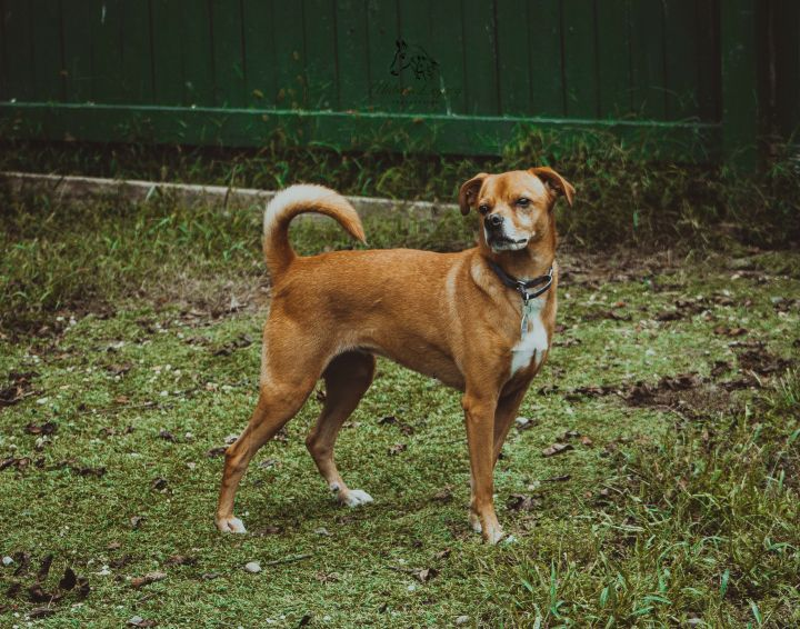 Betsy, an adopted Hound Mix in Fogelsville, PA
