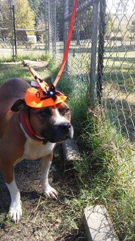 Dog For Adoption Samantha An American Staffordshire Terrier In Paragould Ar Petfinder