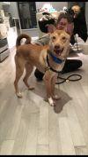 Pharaoh Hound Dog: Fluffy