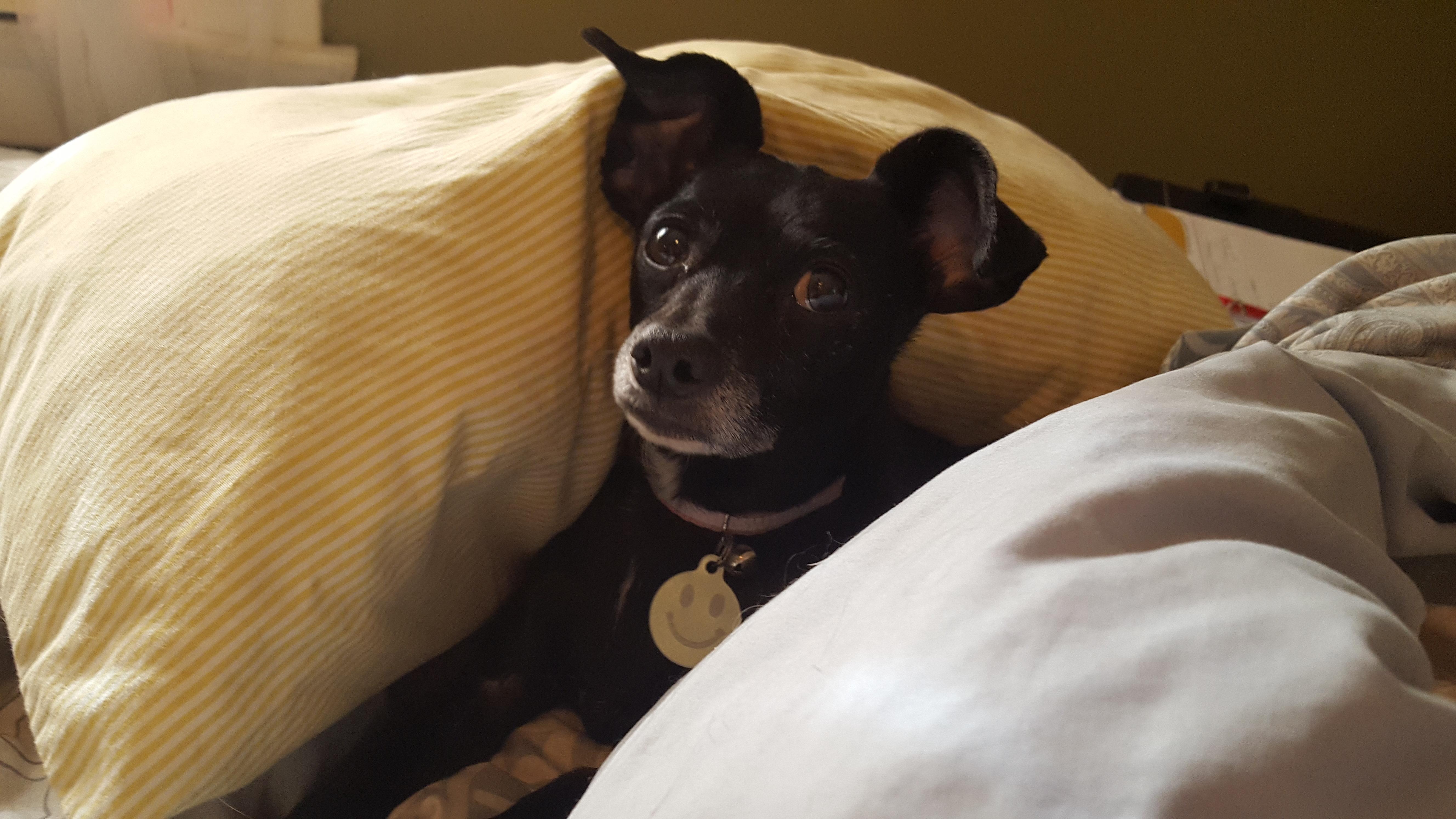 Dog for Adoption – Rosie near Pasadena CA