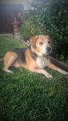 Beagle Dog: Mickey