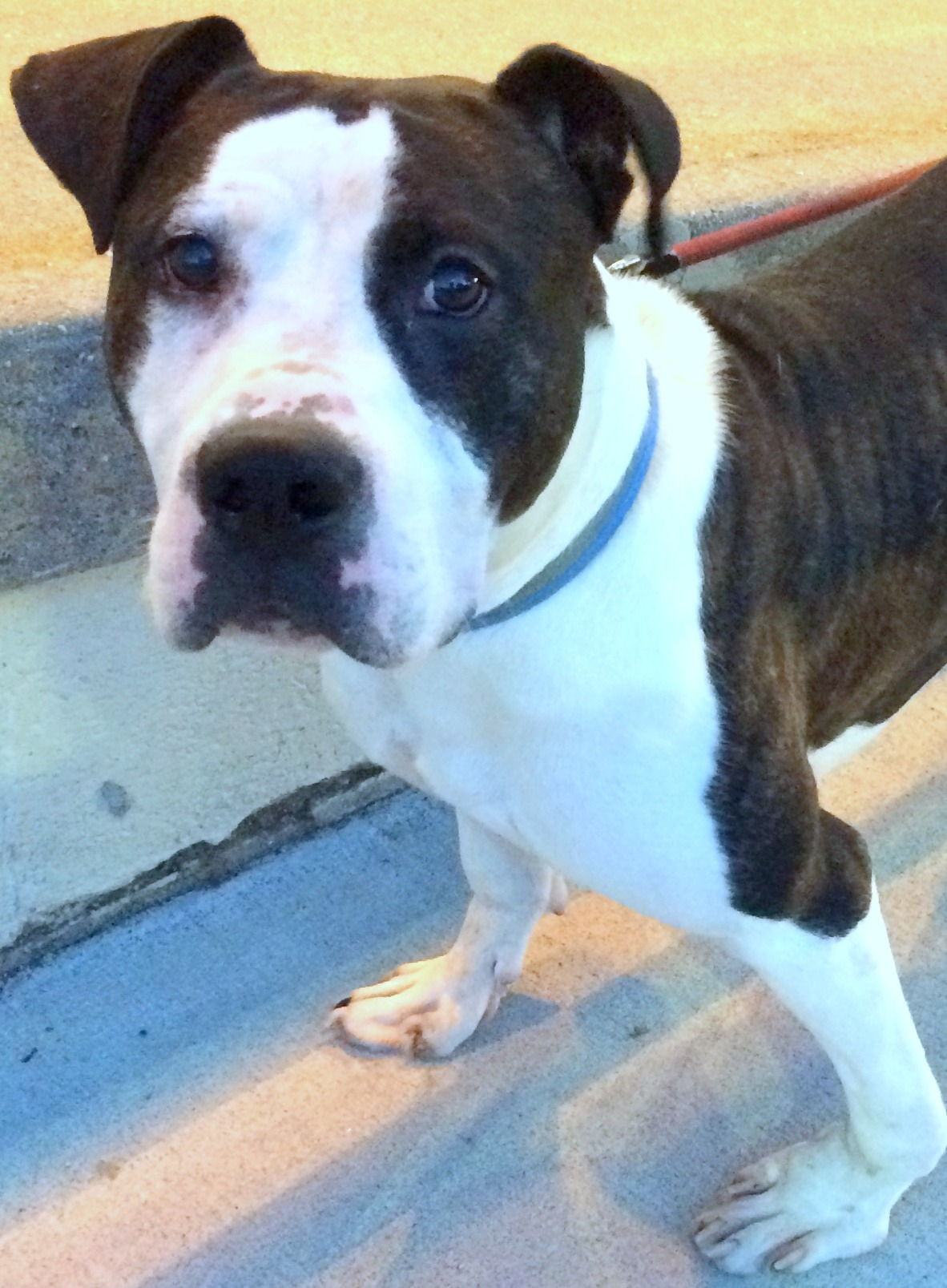 Dog for adoption - Ducky, an American Staffordshire Terrier & Pit Bull Terrier Mix in Carlstadt
