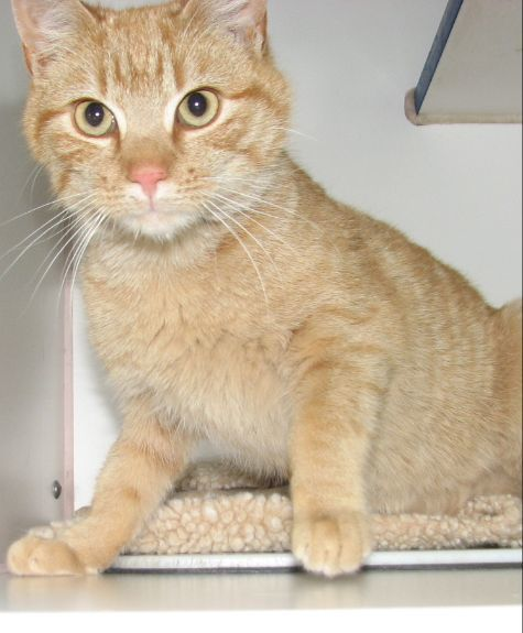 #4346 Schroeder -sponsored, an adopted Domestic Short Hair Mix in Lawrenceburg, KY