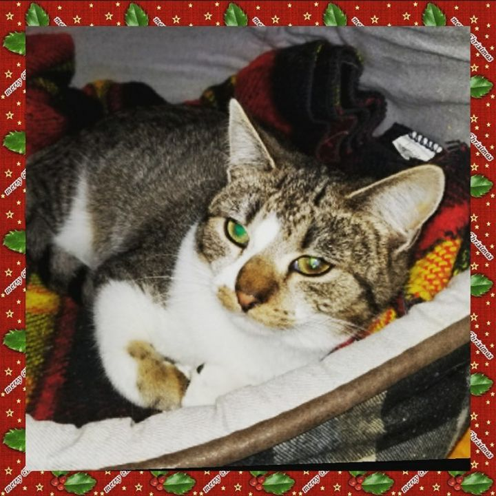 Holly, an adoptable American Shorthair in Dallas, PA