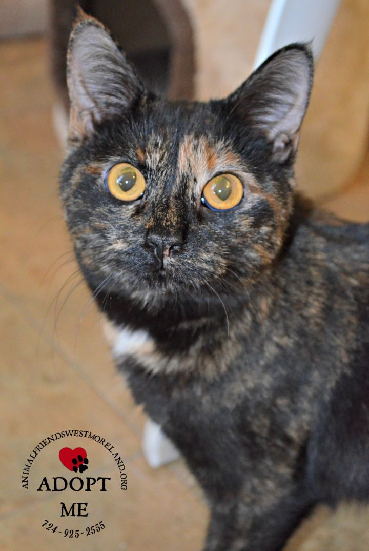 Beatrice, an adoptable Tortoiseshell in Youngwood, PA
