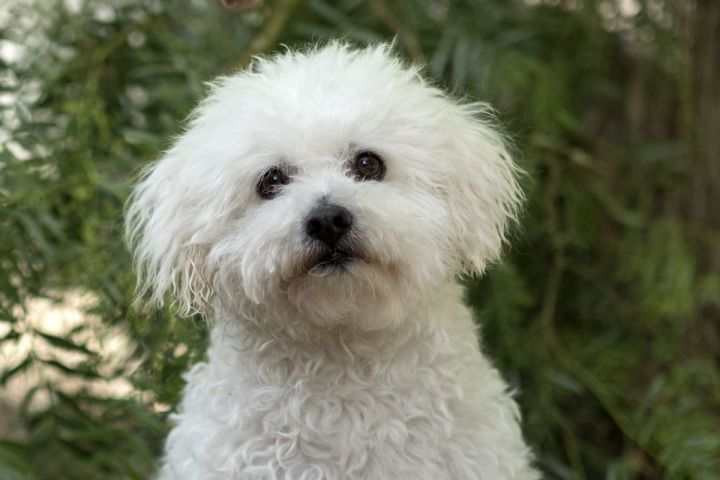 Timmy, an adopted Bichon Frise & Poodle Mix in Laguna Beach, CA