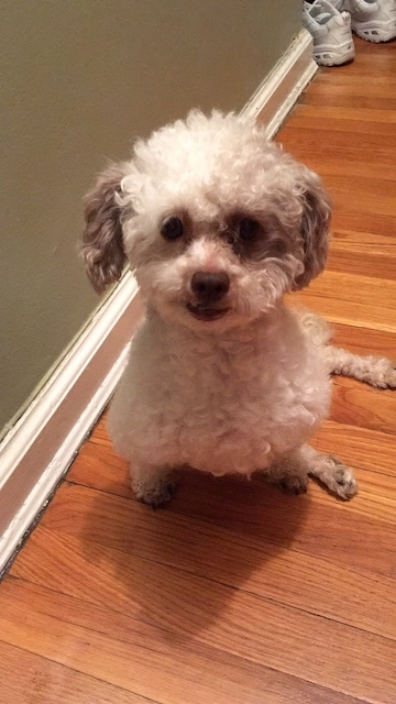 Mr Bojangles, an adopted Poodle & Shih Tzu Mix in Long Beach, NY