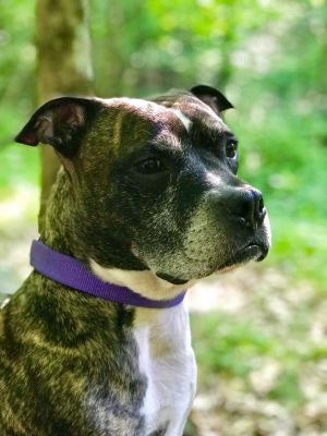 You can fill out an adoption application online on our official websiteThis handsome brindle boy is