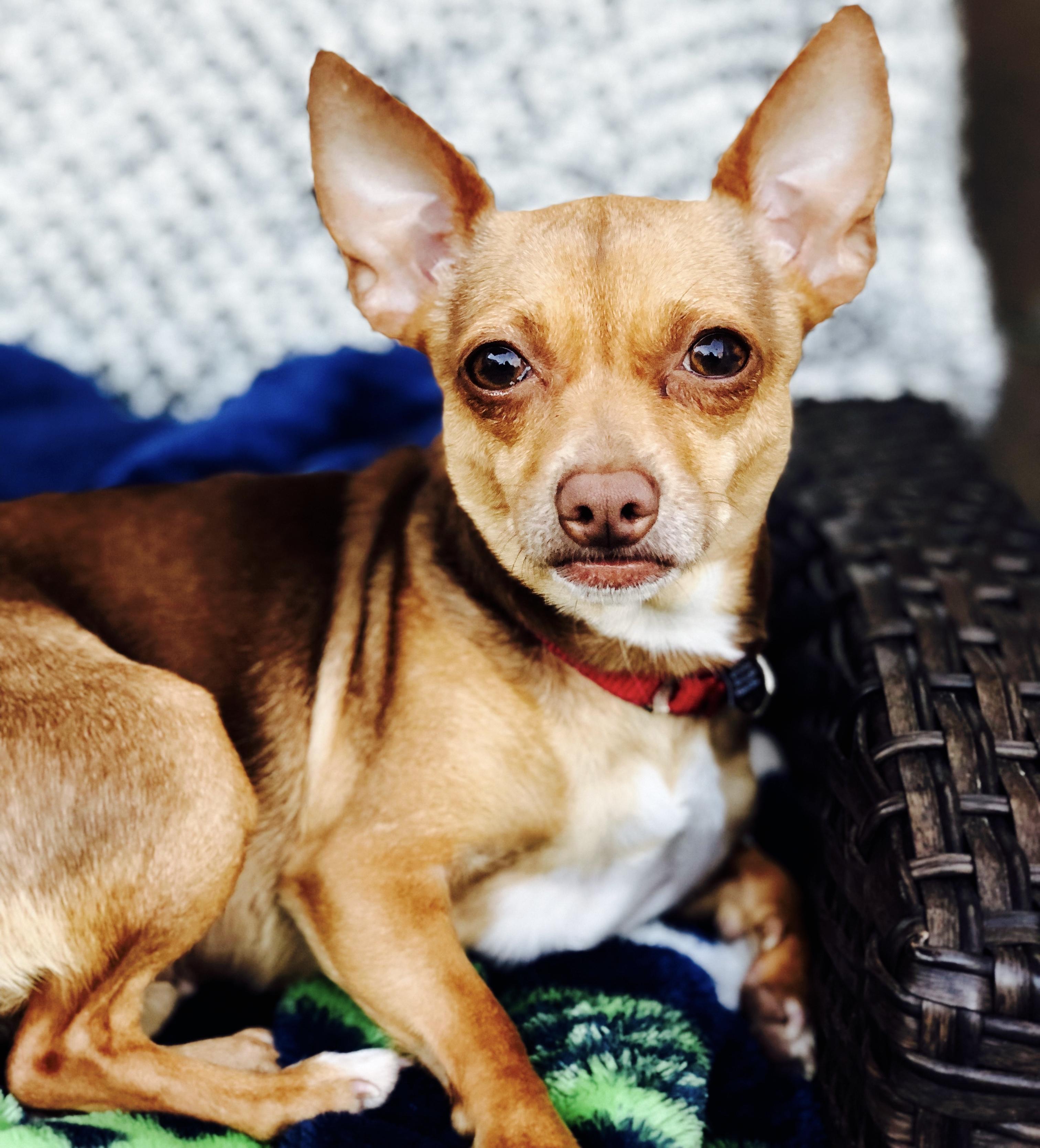 Dog for Adoption – Gol near Pasadena CA