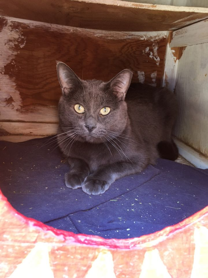 Vulcan, an adoptable Russian Blue in Williamsburg, NM