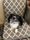 Cavalier King Charles Spaniel Dog: Leo