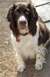 English Springer Spaniel Dog: Ubu