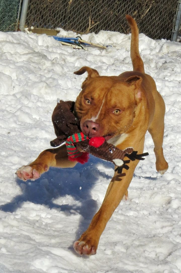 17-735 Prince, an adopted Pit Bull Terrier in Amityville, NY