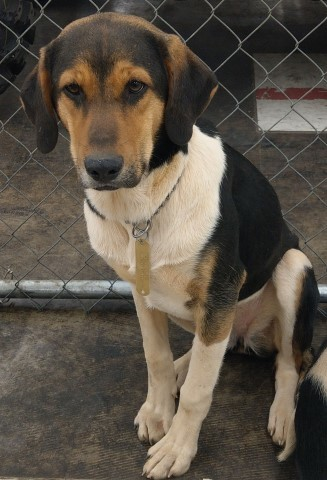 Juno, an adopted Hound Mix in Lenoir, NC