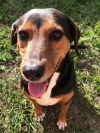Black and Tan Coonhound Dog: Vandy *F* the Chill Girl