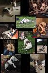 Bull Terrier Dog: Denahli