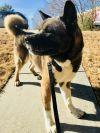 Akita Dog: Falcon